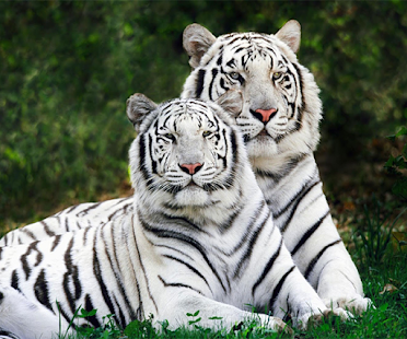 White Tiger Live Wallpaper Apps On Google Play