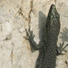 Sharp-snouted Rock Lizard