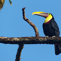 Chestnut-mandibled Toucan