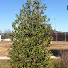 The Winterberry Holly