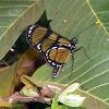 Themisto Amberwing Borboleta-do-manacá