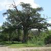 Montezuma Bald Cypress