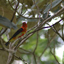 Scarlet Tanager (Molting)