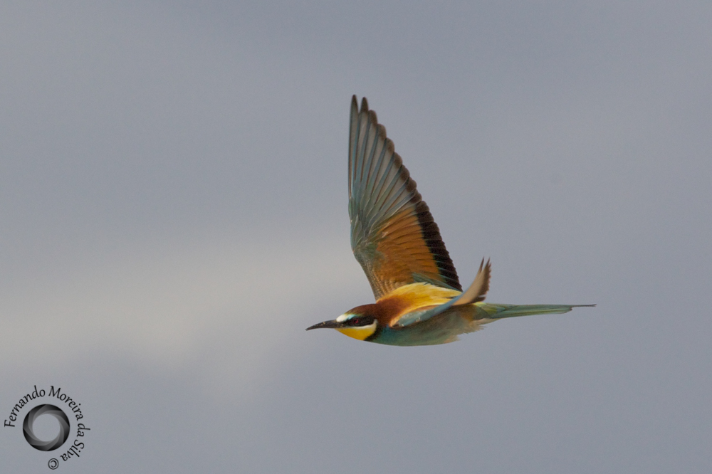 European Bee-eater - Abelharuco