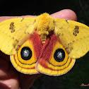 IO Moth, male