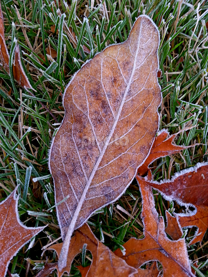 by Dipali S - Instagram & Mobile Android ( plant, wood, lawn, drop, frost, leaf, frozen, leaves, usa, photography, macro, cold, nature, color image, autumn, no people, ice, snow, cold temperature, weather, wet, abstract, grass, backgrounds, scenics, image, beauty in nature, morning, close-up, golden light, field, december, winter, season, horizontal, outdoors, meadow, brown, day, low, fall, color, colorful )
