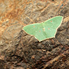 Red Bordered Emerald Moth