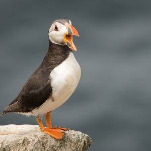 open mouth puffin.jpg