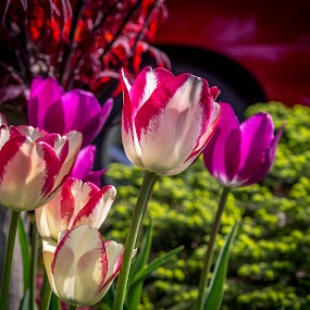 Spring Is Wonderful! by Donna Brittain - Flowers Flower Gardens ( tulips, flowers, garden, spring, blossom )