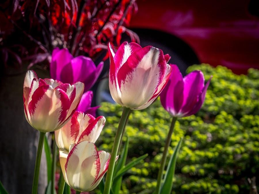 Spring Is Wonderful! by Donna Brittain - Flowers Flower Gardens ( tulips, flowers, garden, spring, blossom )