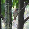 Rufous-collared Sparrow / Copetón