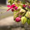 Bleeding-heart vine