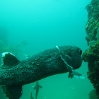 Spotfin burrfish