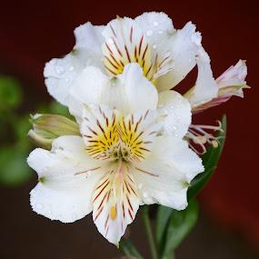 Bello duo by Lidia Noemi - Flowers Flower Gardens ( jardin, flores, blanca, orquideas,  )
