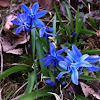Siberian squill, wood squill