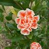 Bloomed pomegranates (Ροδιές)