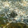 Zebra Seabream