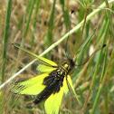 Libelloides italicus