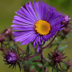 Purple Asters by ChrisTina Shaskus - Flowers Flower Gardens ( colorful, mood factory, vibrant, happiness, January, moods, emotions, inspiration,  )