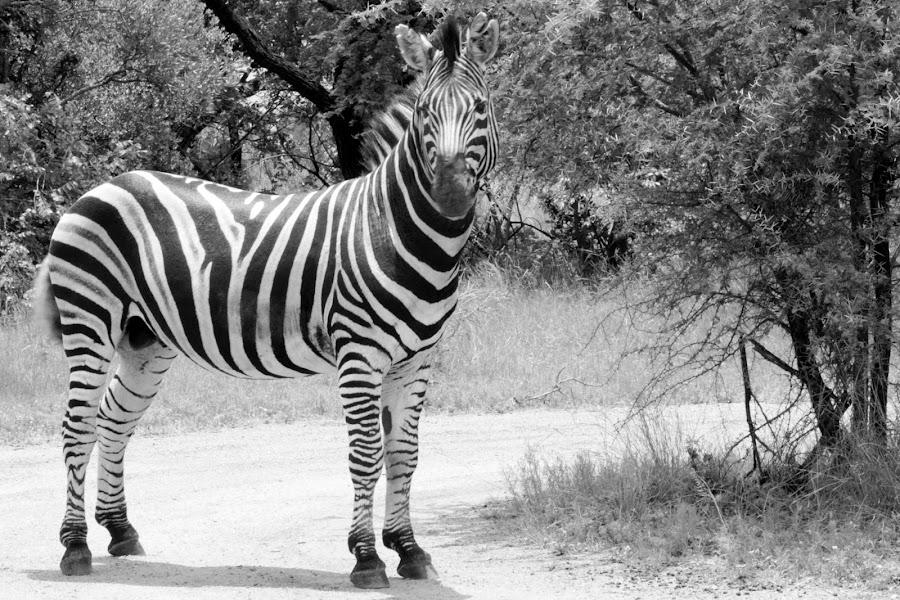 Zebra in the road by Gert van Niekerk - Black & White Animals