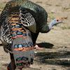 guajolote ocelado - Ocellated Turkey