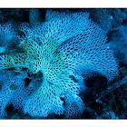 Bryozoa , βρυοζωα
