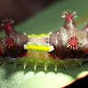 Mottled Cup Moth Caterpillar