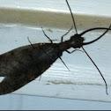 Eastern Dobsonfly, male