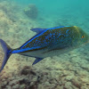 Blufin Trevally