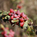 Cotoneaster / Franchet's Cotoneaster