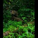 White-Nosed Coati (or cotamundi)