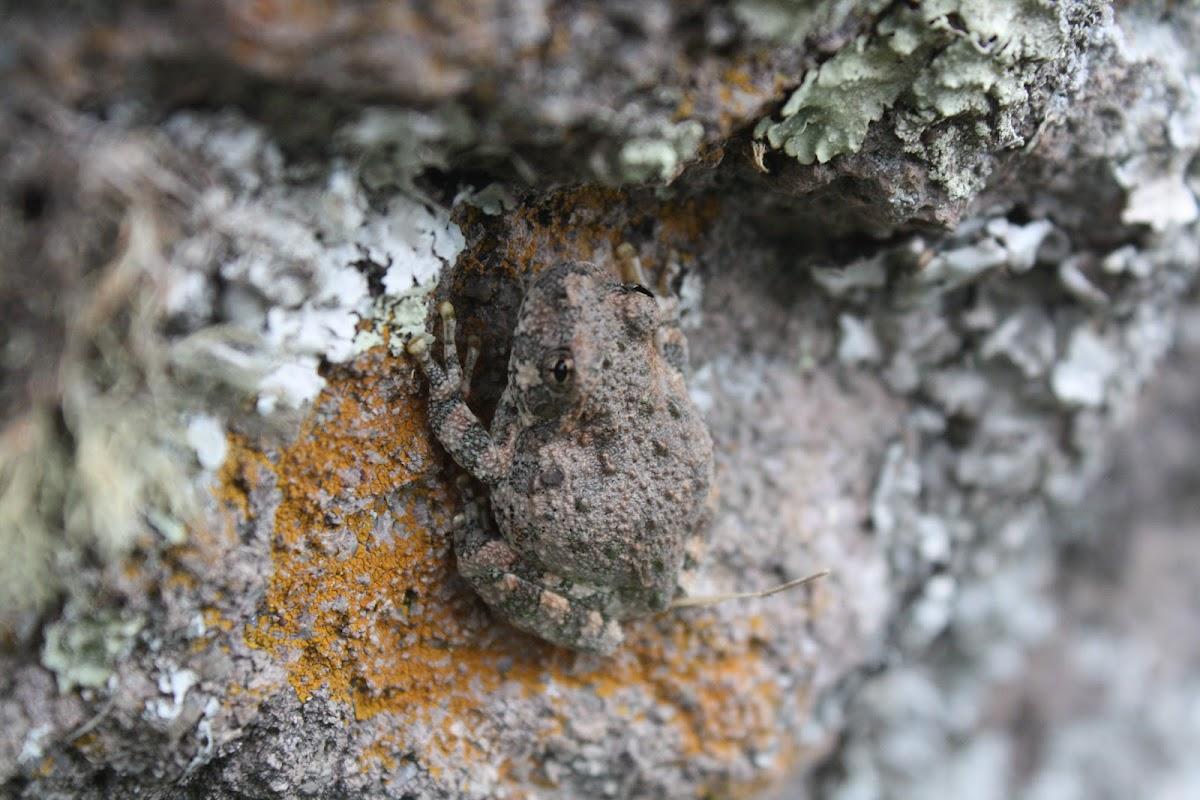 Rana de arena, Canyon treefrog
