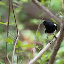 Oriental Robin