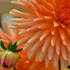 Orange Mum by Miren Etcheverry - Flowers Single Flower ( plant, bouquet, orange, flora, bloom, botanical, mum, blossom, florist, arrangement, chrisanthemum, flower, floral,  )