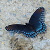 Red-spotted purple (mud puddling)