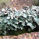 Lichen olivetorum
