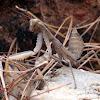 Giant Asian Praying Mantis