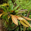 Tillandsia flower