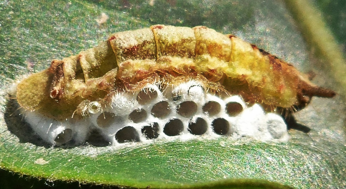 Pittheus Metalmark - Caterpillar infested by wasp