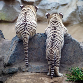 Where is Mom? by Maritere Izaguirre - Animals Lions, Tigers & Big Cats ( white tigers, animals, zoo, tigers, baby tigers, lima,  )