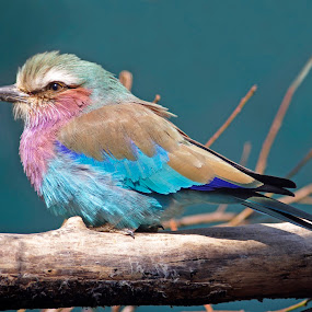 Lilac-breasted Roller by Ingrid Anderson-Riley - Animals Birds ( , mood factory, color, lighting, moods, colorful, light, bulbs, mood-lites )