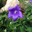 Balloon flower or bellflower