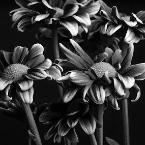 Margaritas by Eduardo Llerandi - Flowers Flower Arangements ( black and white, flash light, flowers, flowers arangements, black and white flowers, Flowers, Flower Arrangements,  )