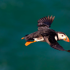Atlantic Puffin by Peter Krocka - Animals Birds ( bird, ireland, fly, atlantic puffin, puffin, , flight )