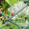 Ladybug (Zevenstippelig lieveheersbeestje)