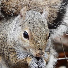 Grey Squirrel 02 by Dave Davenport - Animals Other Mammals ( grey, rodent, gray, mammal, squirrel,  )