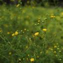camphor daisy
