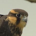Aplomado Falcon (Falcão-de-coleira)