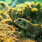 Juvenile White-Spotted Puffer