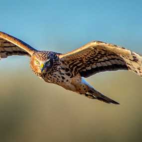 Harrier by Gary Davenport - Animals Birds ( northern, flight, eye contact, ridgefield, harrier )